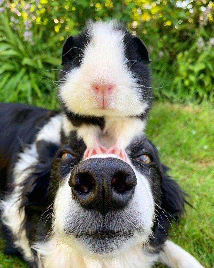 морская свинка сидит на голове у собаки