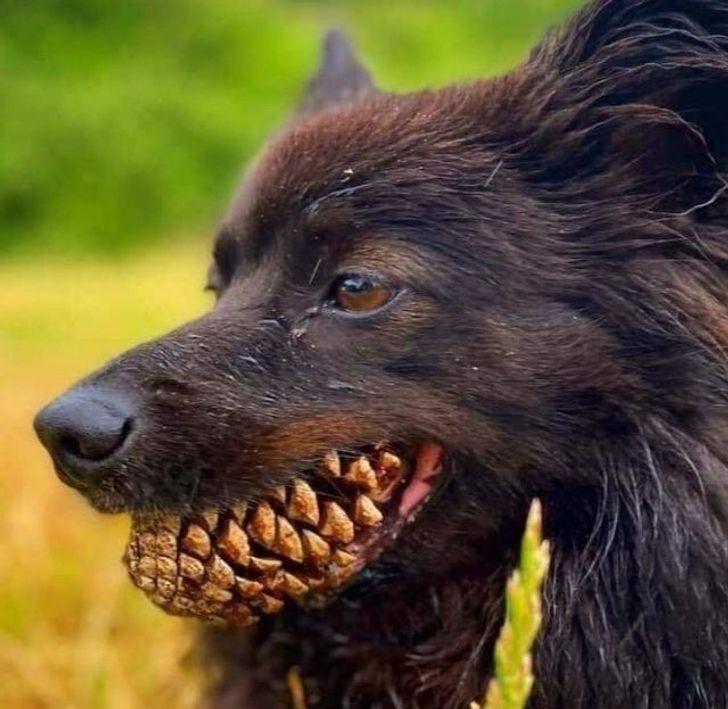 собака с шишкой в зубах