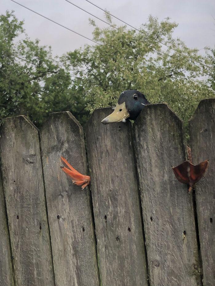 утка застряла в заборе
