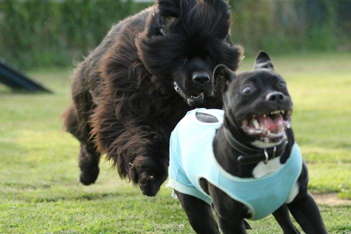 собака гонится за питбулем