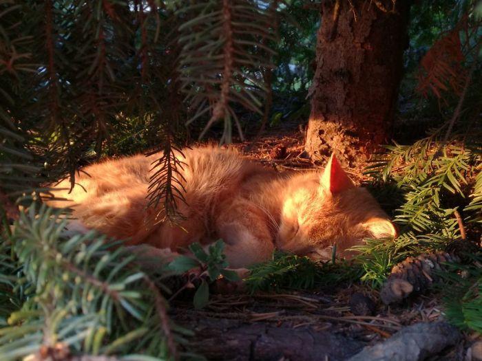 рыжий кот спит под елью