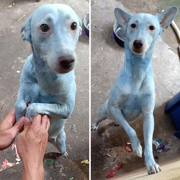 собака с голубой шерстью