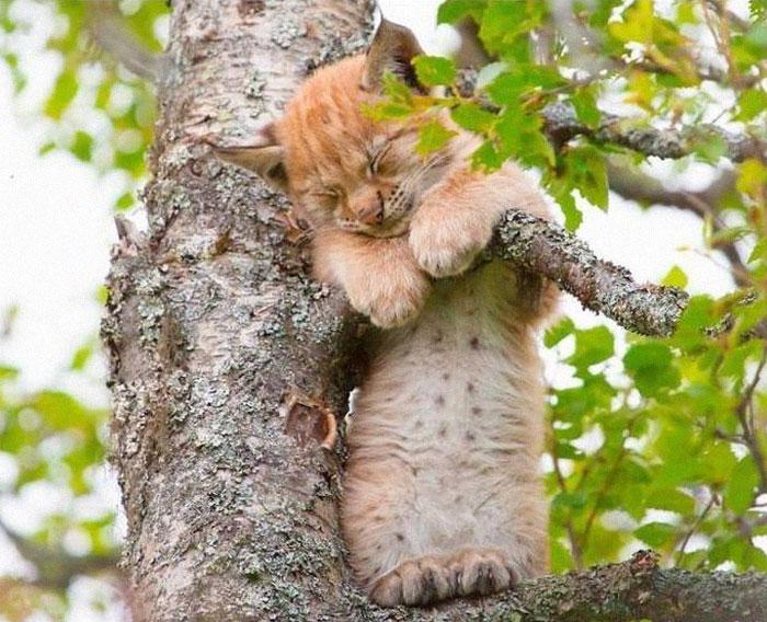 рыжий кот спит на березе