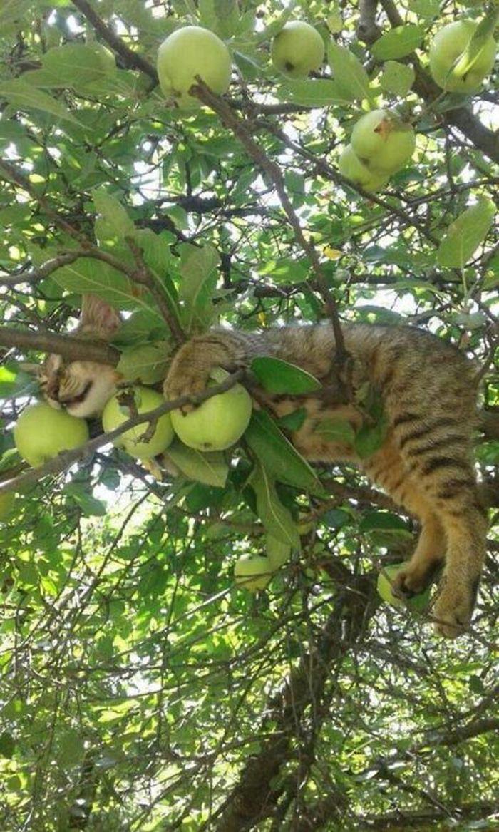 полосатый кот спит на яблоне