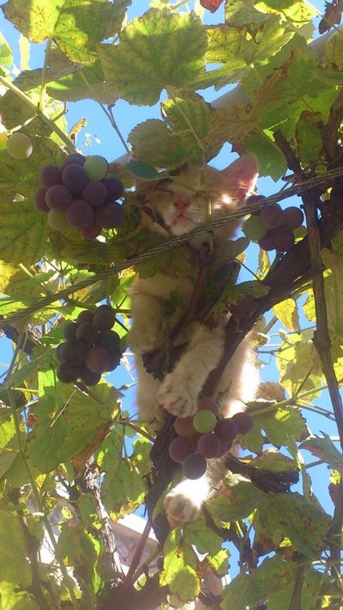 рыжий кот спит на винограднике
