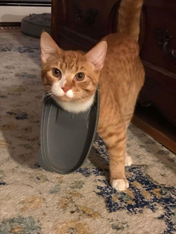 рыжий кот с крышкой на шее