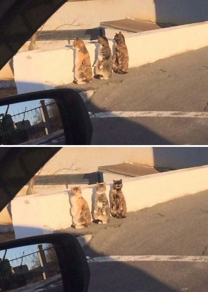 """""""Мы пингвины!"""" 15 фото котов, стоящих на задних лапах Приколы,Фото,коты,кошки,приколы,смешные коты"""