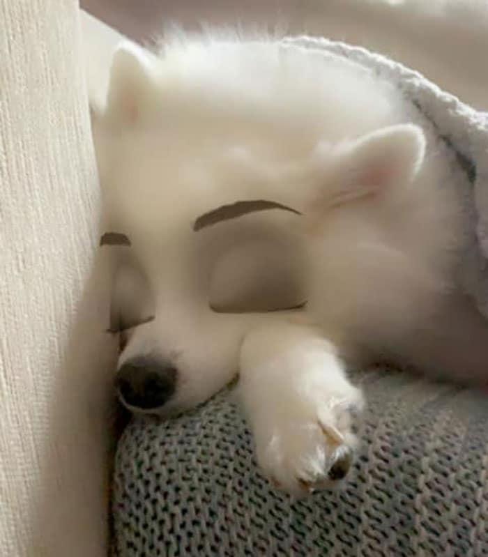 белый шпиц спит
