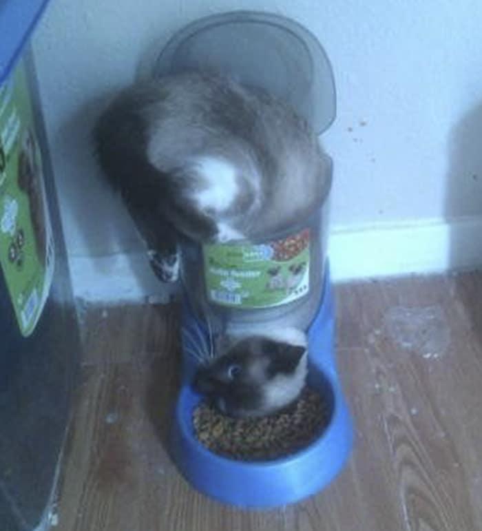 сиамская кошка застряла в миске с едой
