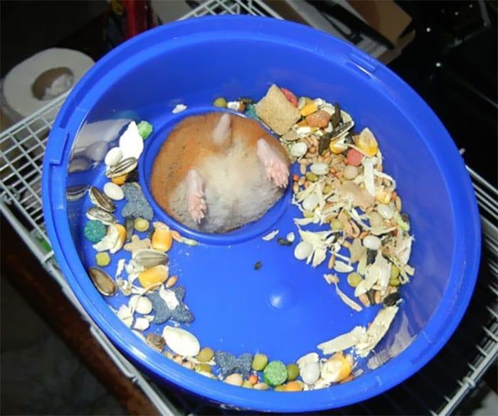 хомяк застрял в миске с едой