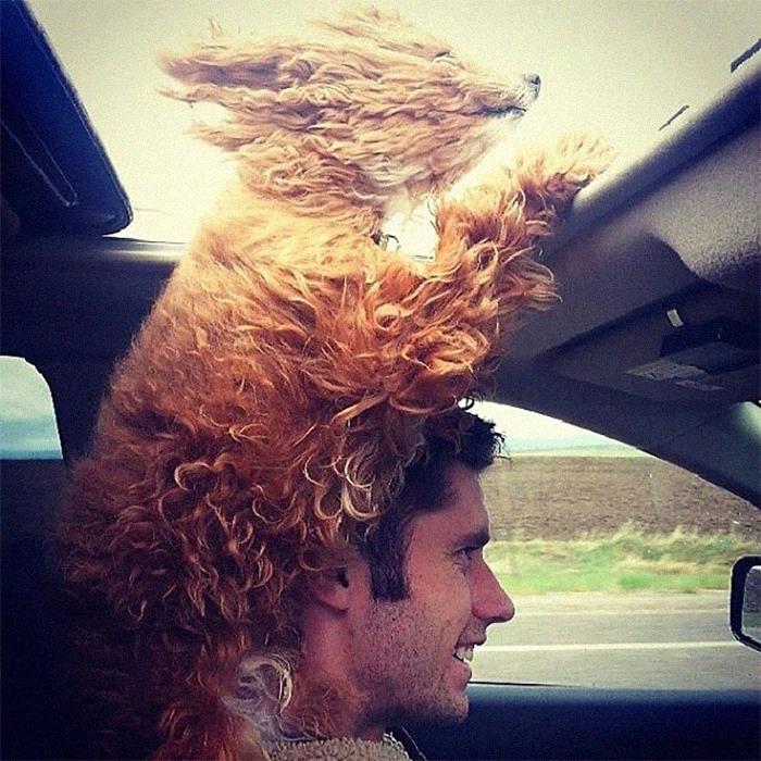 рыжая собака на плечах у мужчины в авто