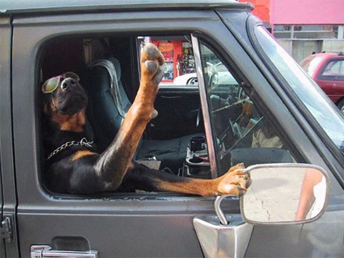 ротвейлер машет лапой из окна авто