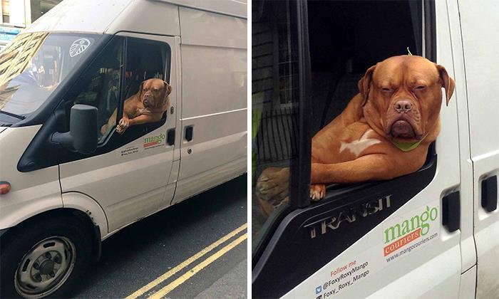 рыжий пес сидит в фургоне