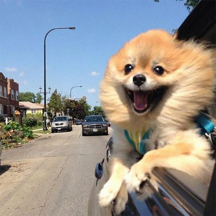 шпиц едет в авто, высунувшись в окно