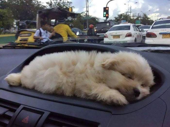 щенок спит под лобовым стеклом в авто