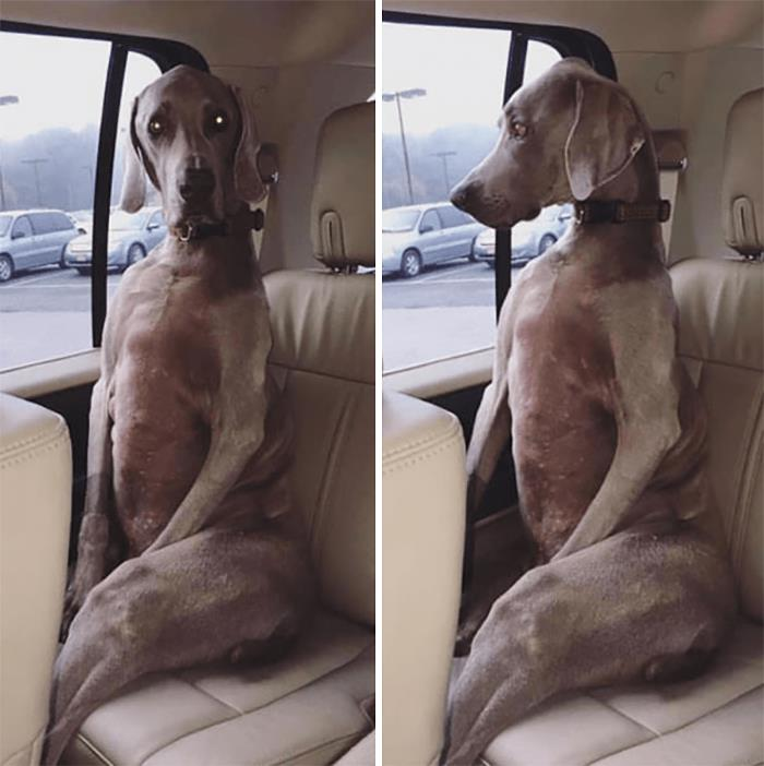 собака сидит на заднем сидении в авто