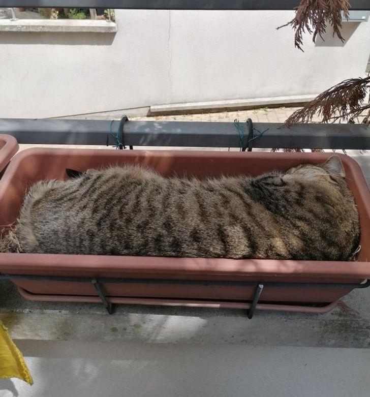 полосатый кот спит в цветочном горшке