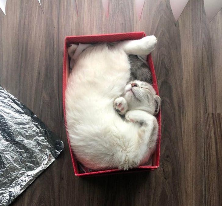 белая кошка спит в красной коробке
