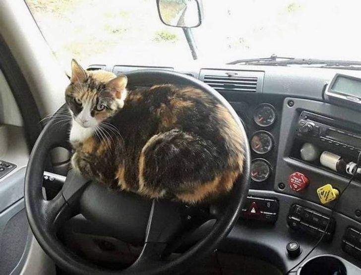 трехцветная кошка сидит на руле в автомобиле