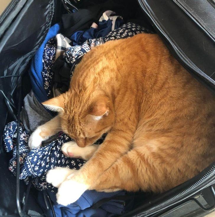 рыжий кот спит на вещах в чемодане