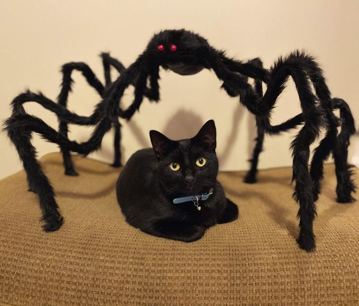 черный кот и черный паук
