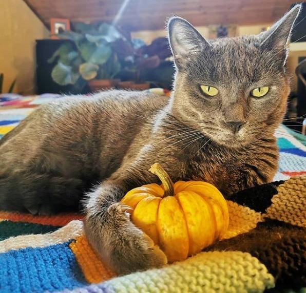 серый кот с маленькой тыквой