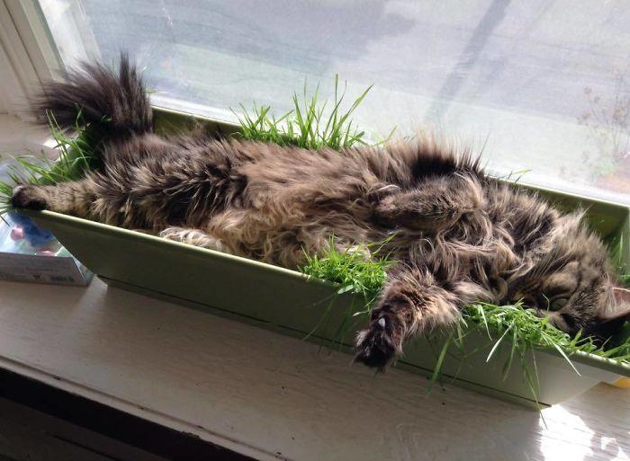 кошка спит в горшке с травой