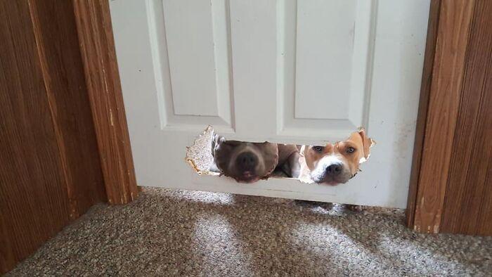 две собаки смотрят через дырку в двери