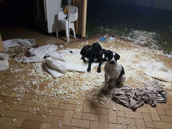 две собаки намусорили в комнате
