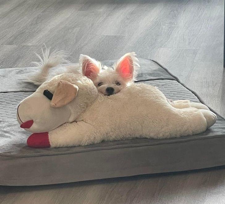 белая собачка с мягкой игрушкой