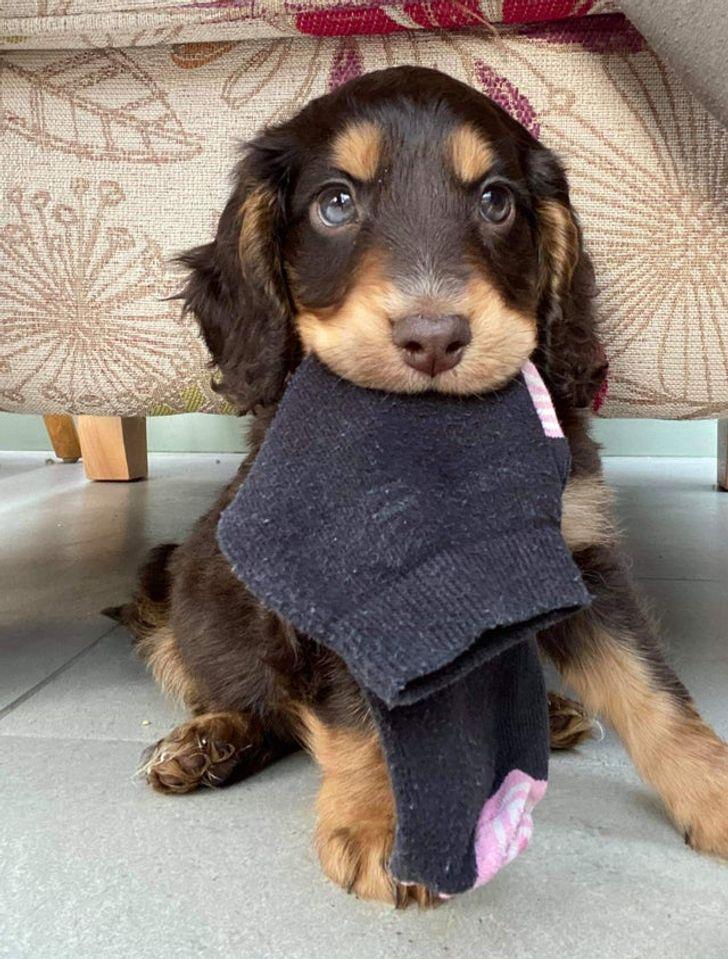 щенок с носком во рту