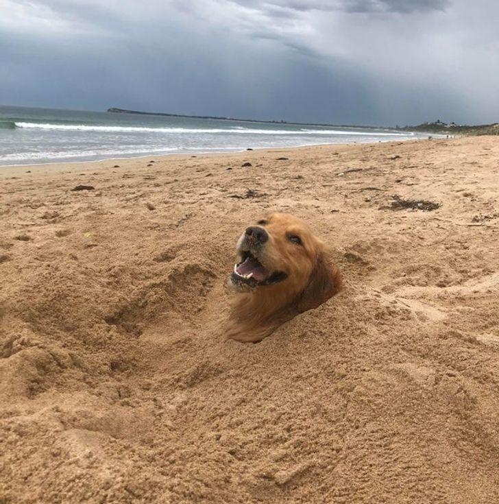 золотистый ретривер в песке