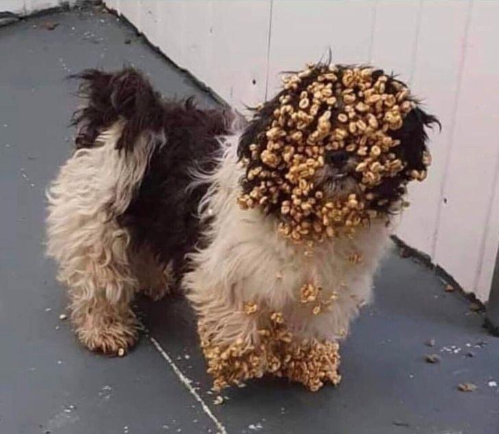 собака облеплена сладкой кукурузой
