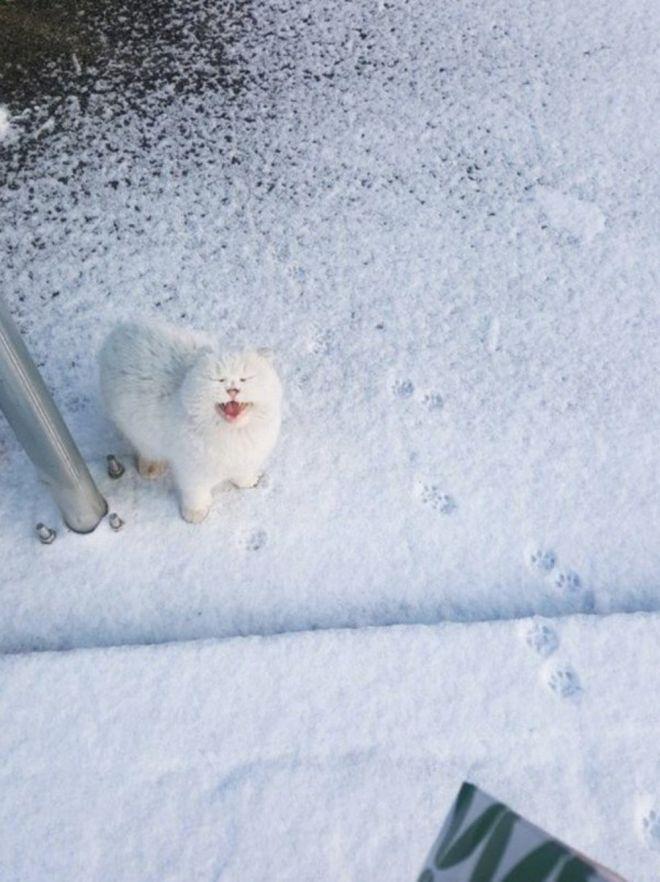 белый кот орет в снегу
