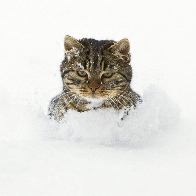 полосатый кот сидит в снегу