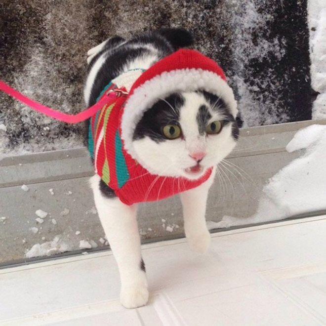 черно-белый кот в красной шапке на поводке