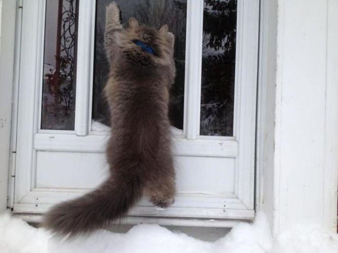 пушистый кот висит на входной двери