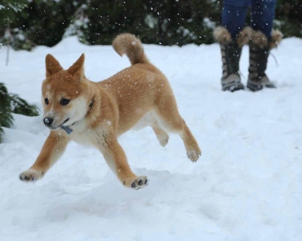 щенок шиба-ину в снегу