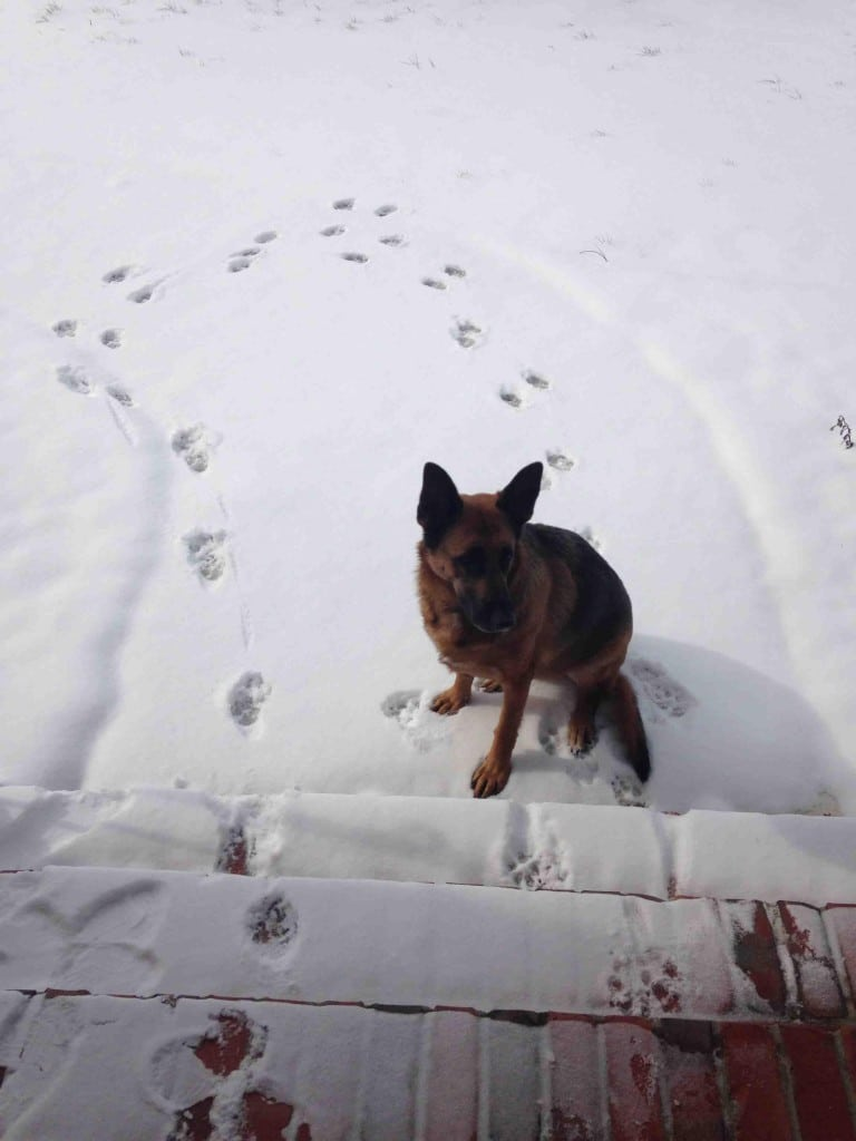 овчарка сидит в снегу