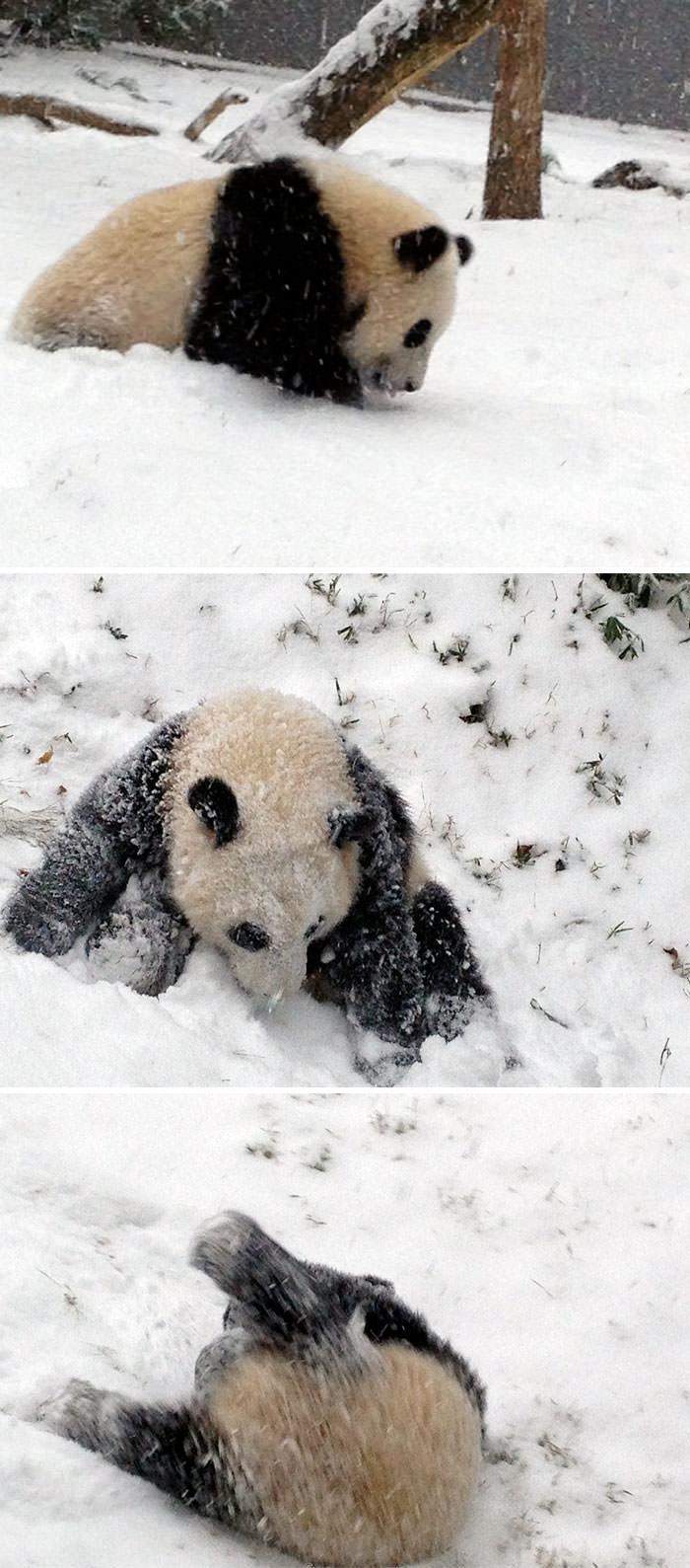 панда скатывается по снежному холму