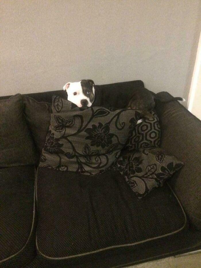 пес лежит на подушке на диване
