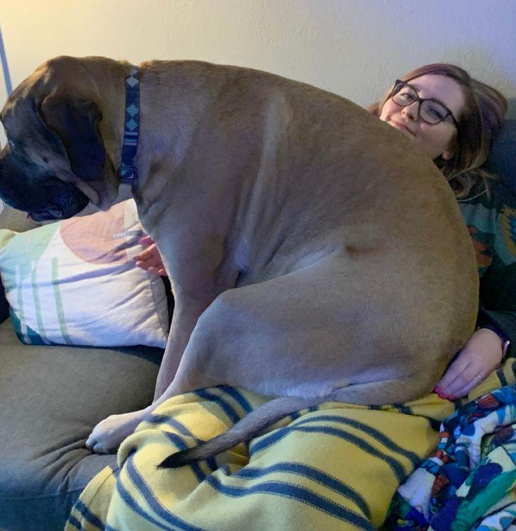 большой пес сидит на девушке в очках