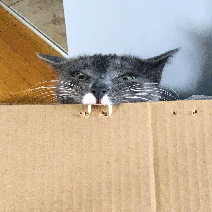 серый кот кусает картонную коробку