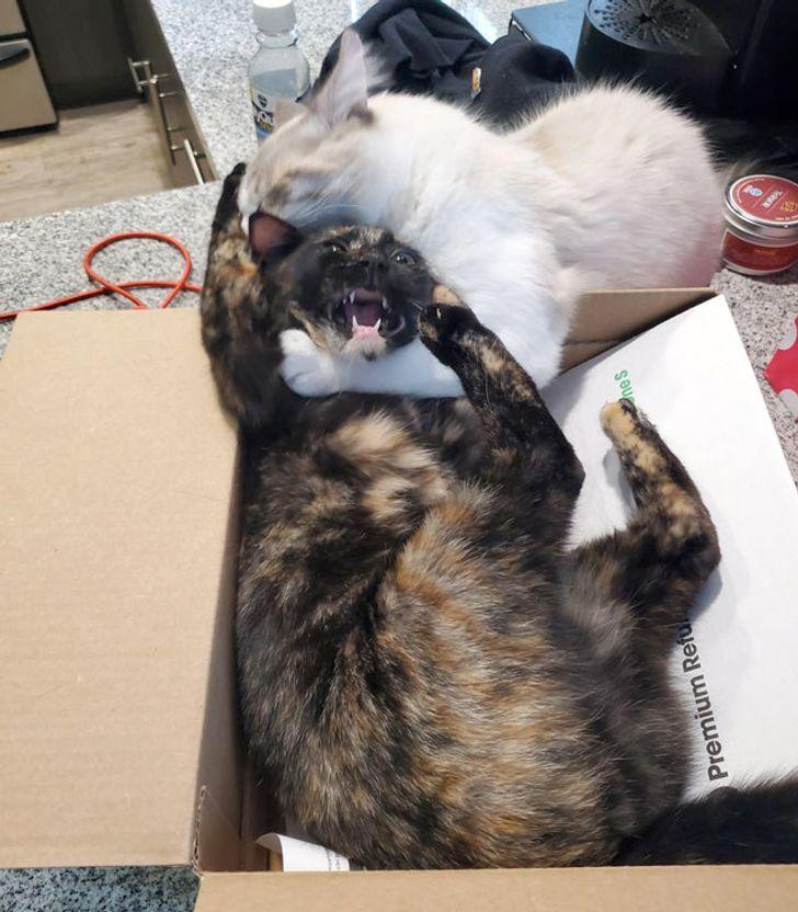 коты дерутся в коробке