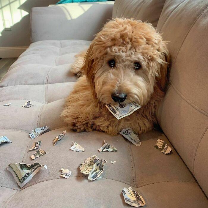 рыжий пес на диване с разорванными деньгами