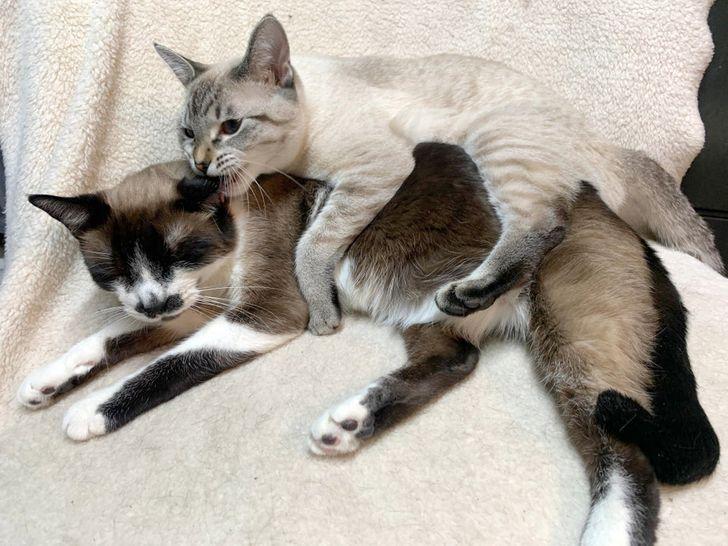серый кот кусает кошку за ухо