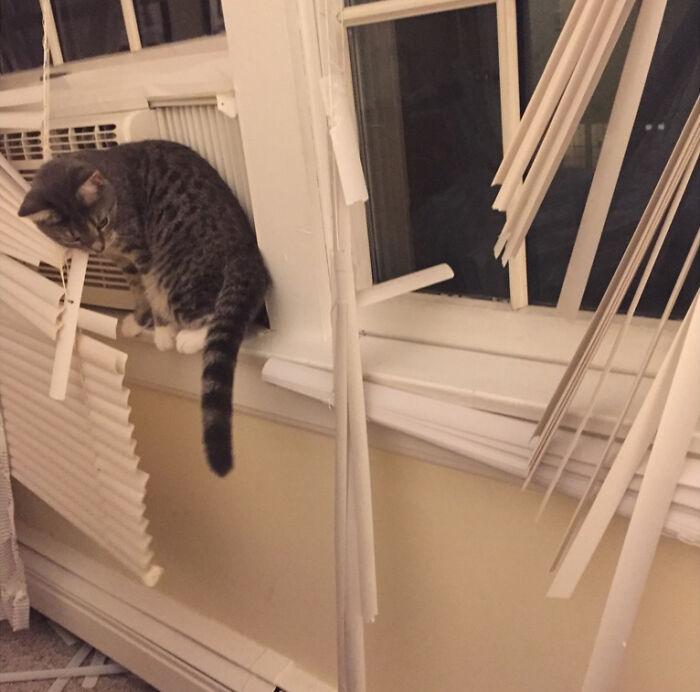 полосатый кот и оборванные жалюзи