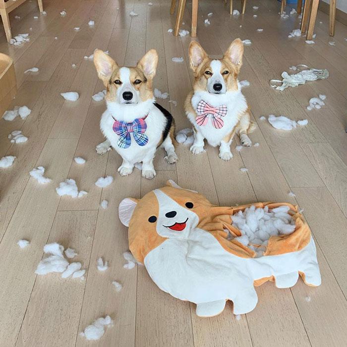 два корги и плюшевая собака