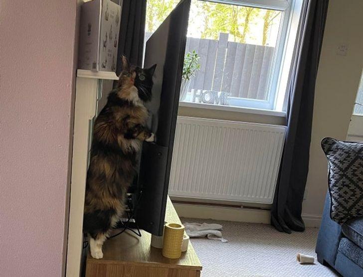 кошка стоит на задних лапах за телевизором