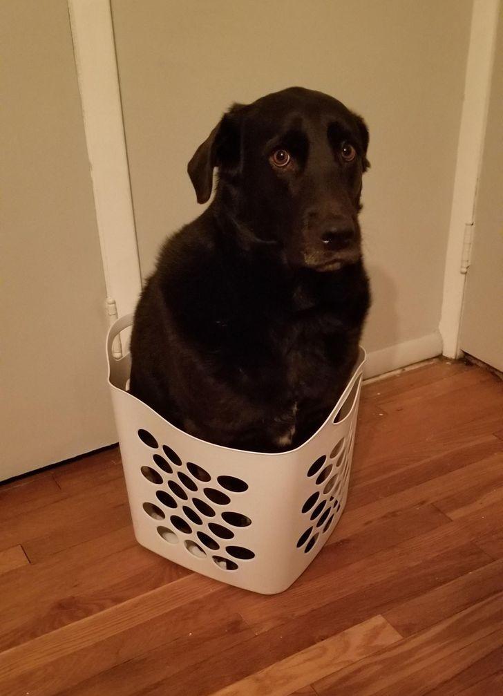 черный пес сидит в корзине
